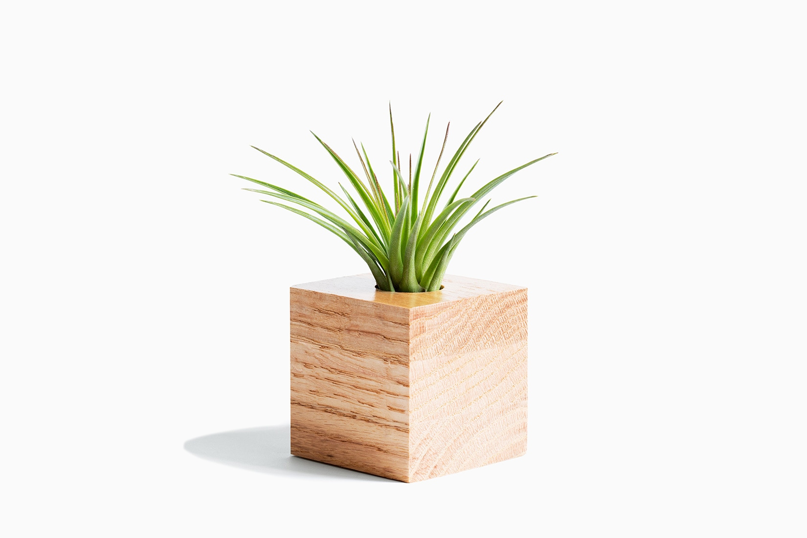 best indoor plants air plant - Luxe Digital