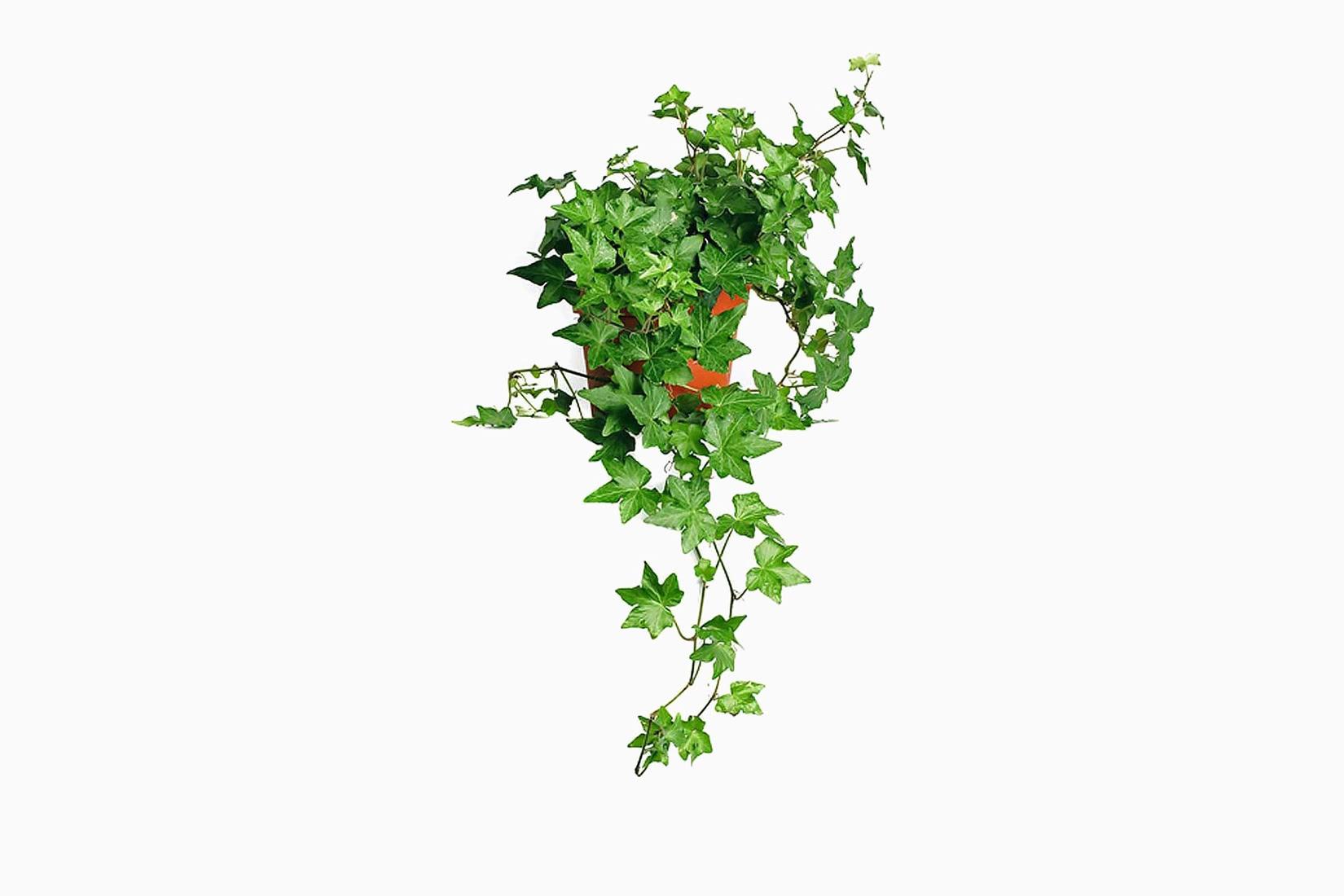 best indoor plants baltic english ivy - Luxe Digital