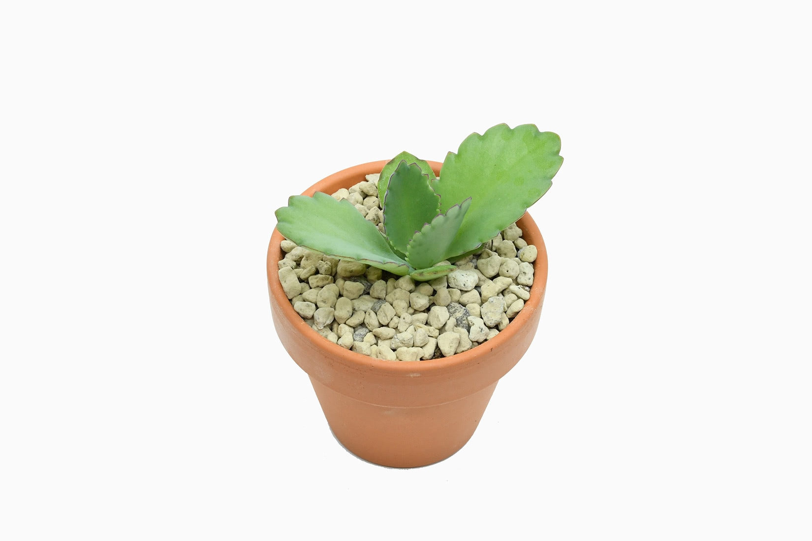 best indoor plants mexican hat plant kalanchoe daigremontiana - Luxe Digital
