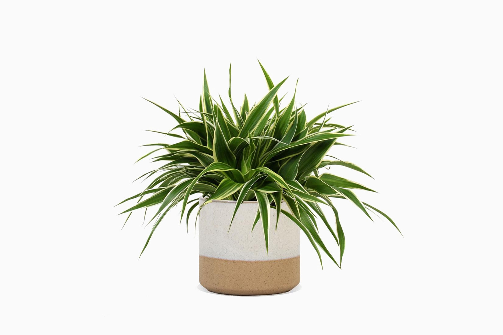 best indoor plants ocean spider plant - Luxe Digital