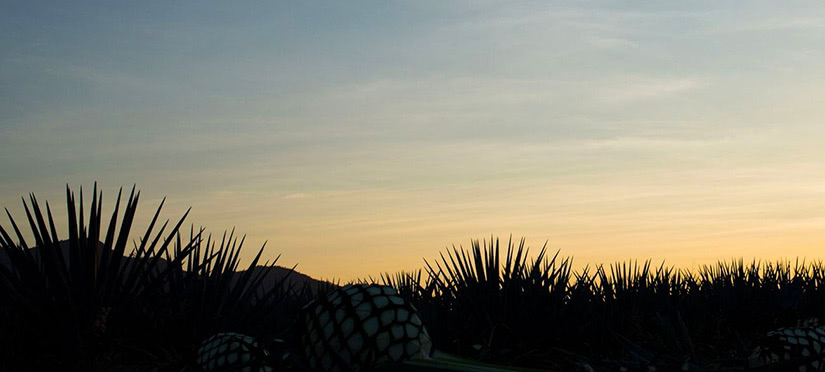jose cuervo tequila agave plantation - Luxe Digital